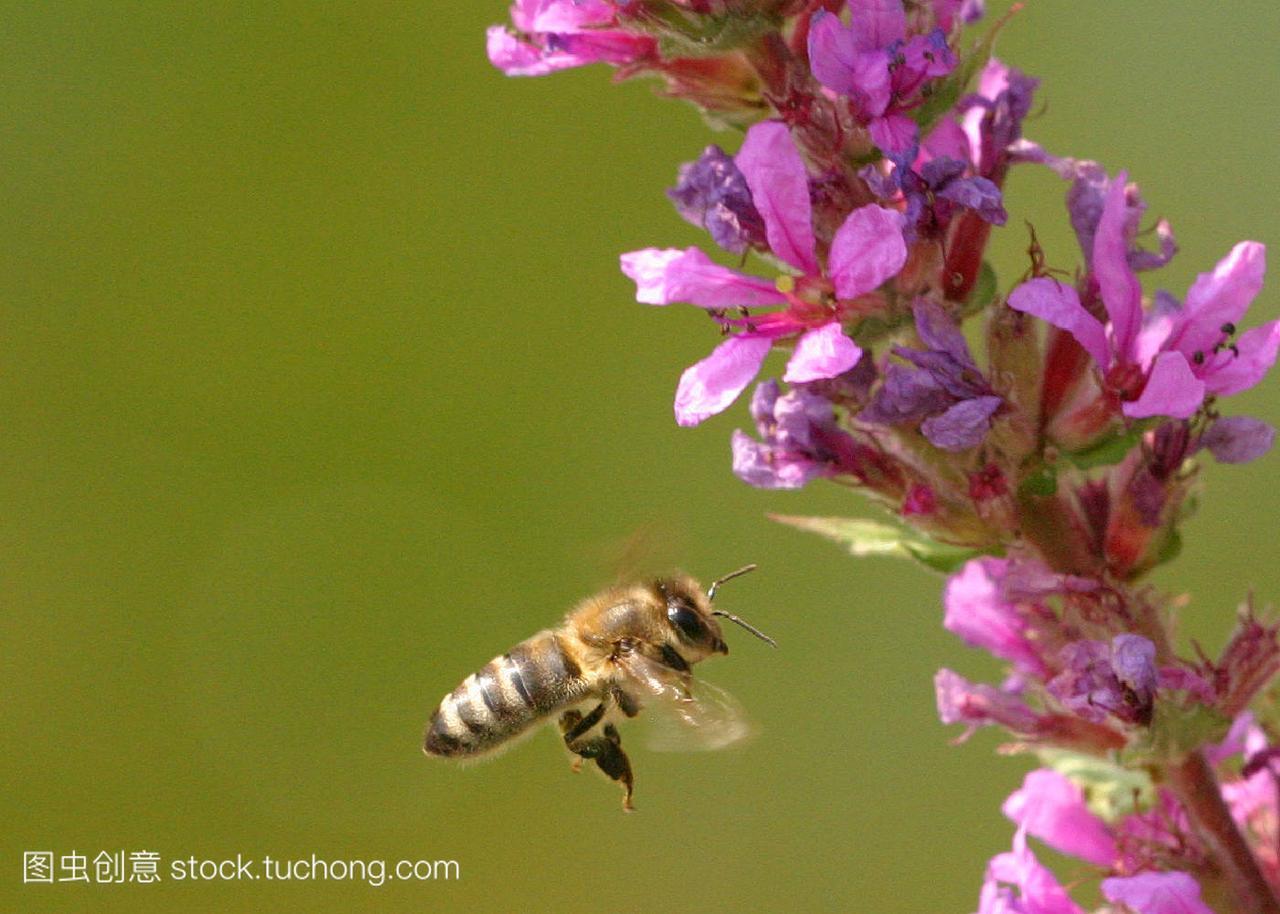 honeybee,自然,nature,章鱼,insect,小说,Bee,Pa有蜜蜂的昆虫图片