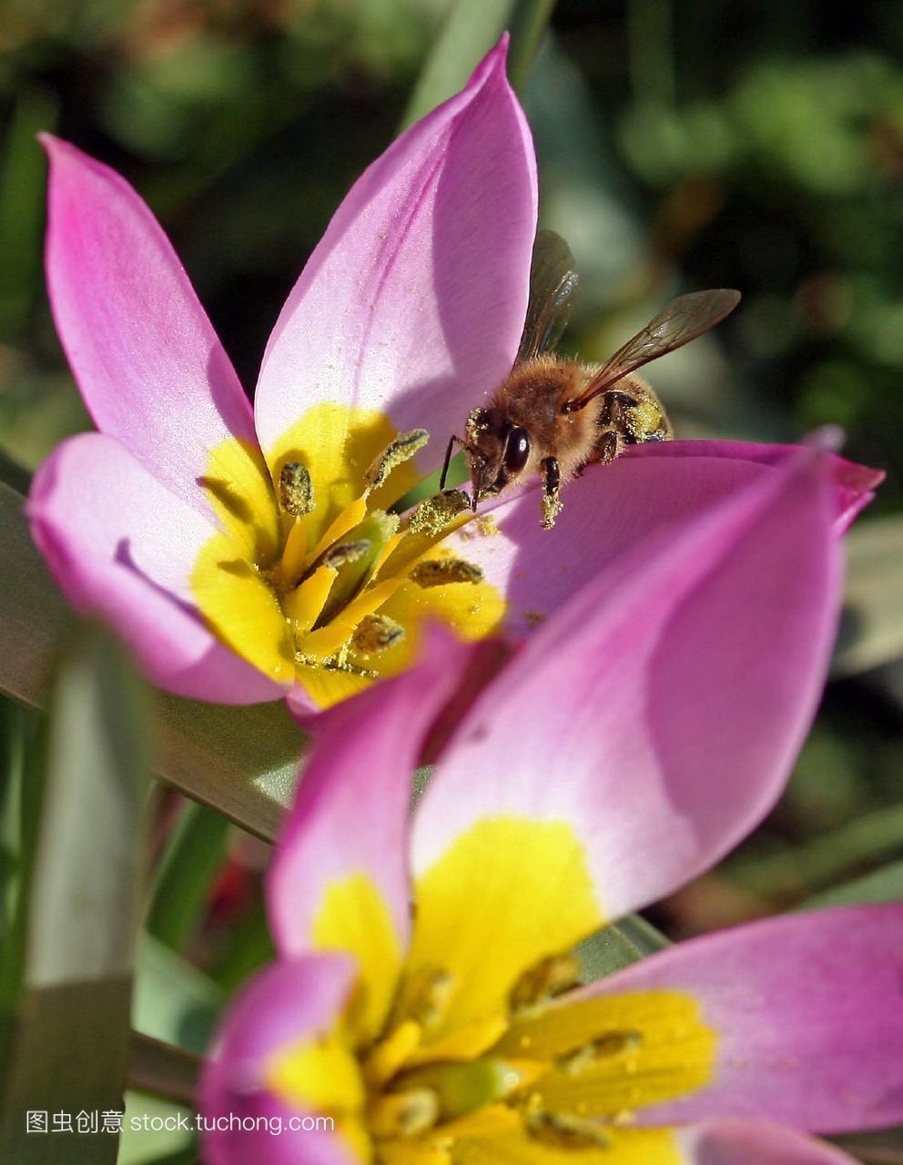 蜜蜂,animal,植物,insect,昆虫,flower,语声,plant,a蜜蜂猜成花卉动物图片