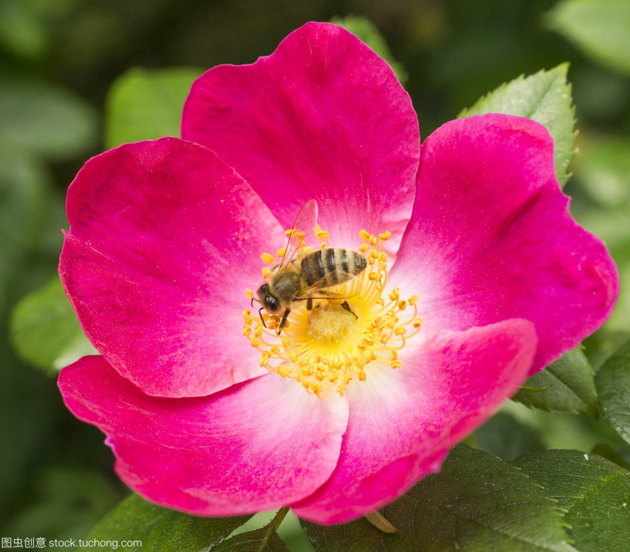蜂,bumblebee,开花,Bloom,盛开,blossom,茂盛,ark.蜗牛.com图片