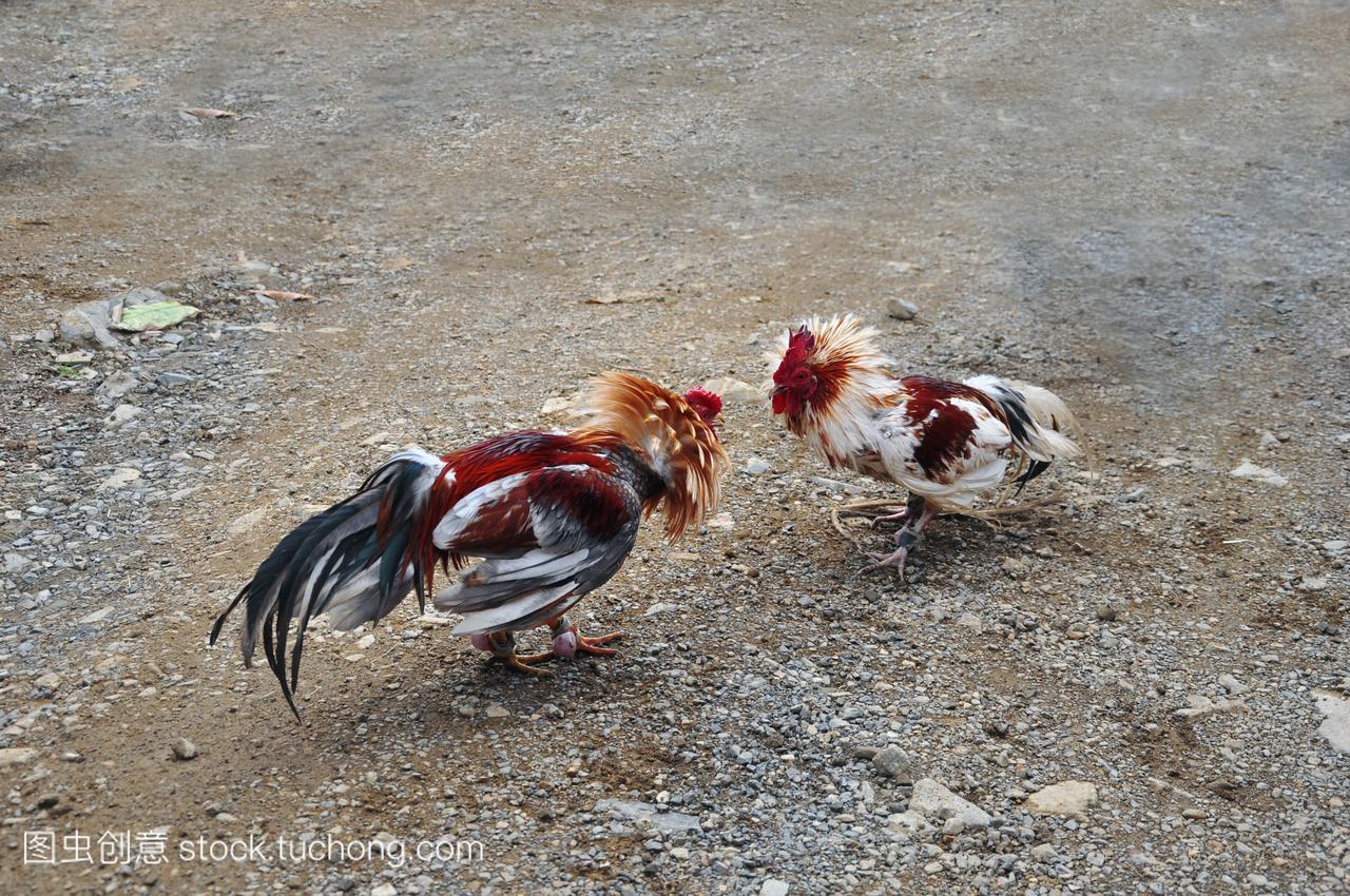 斗鸡的海报,游戏-多米尼加共和国v海报公鸡中的责任网球小学生图片