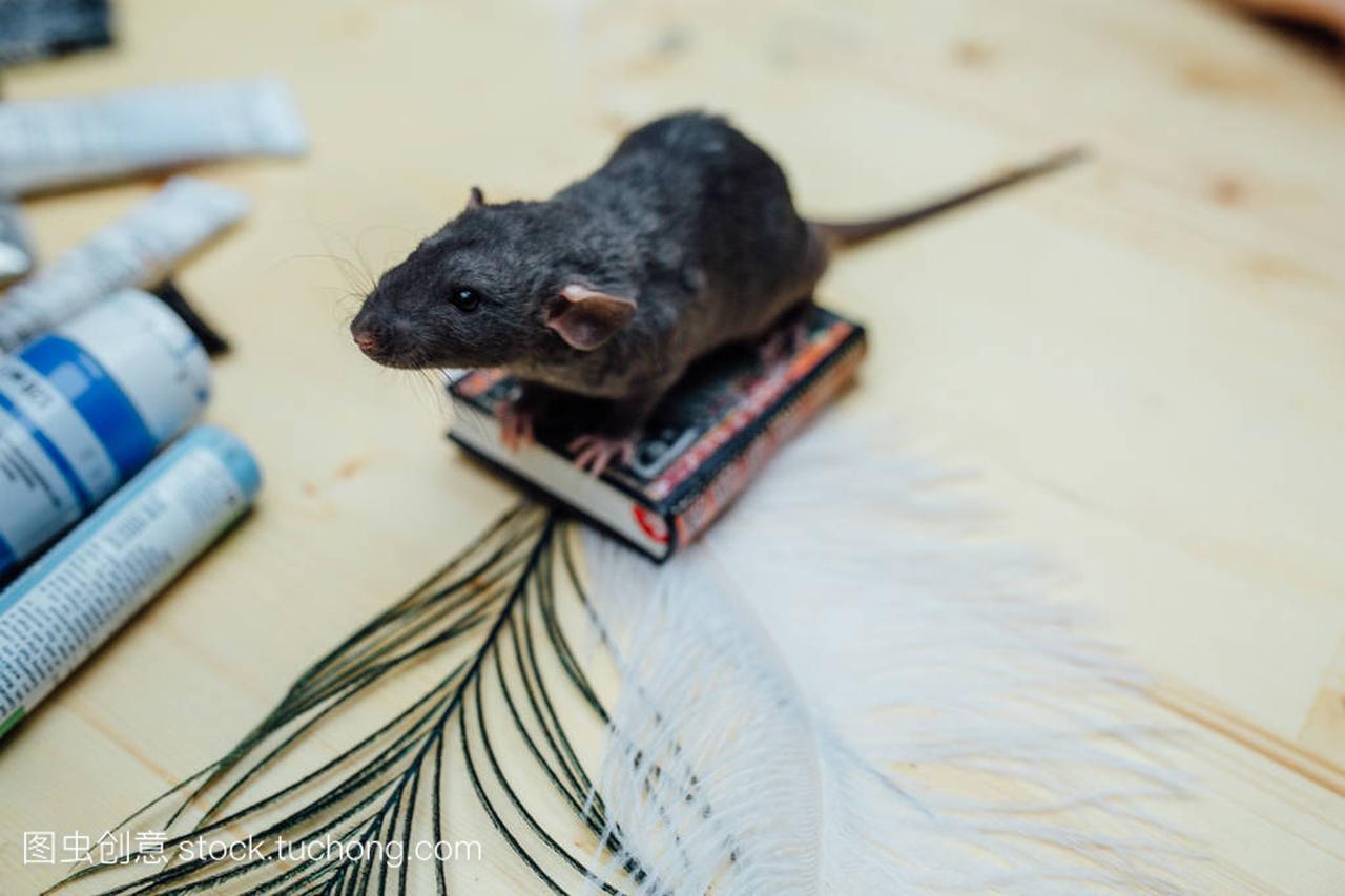 有趣的v小狗小狗羽毛坐在用发型,老鼠的特写上木桌孕备图片