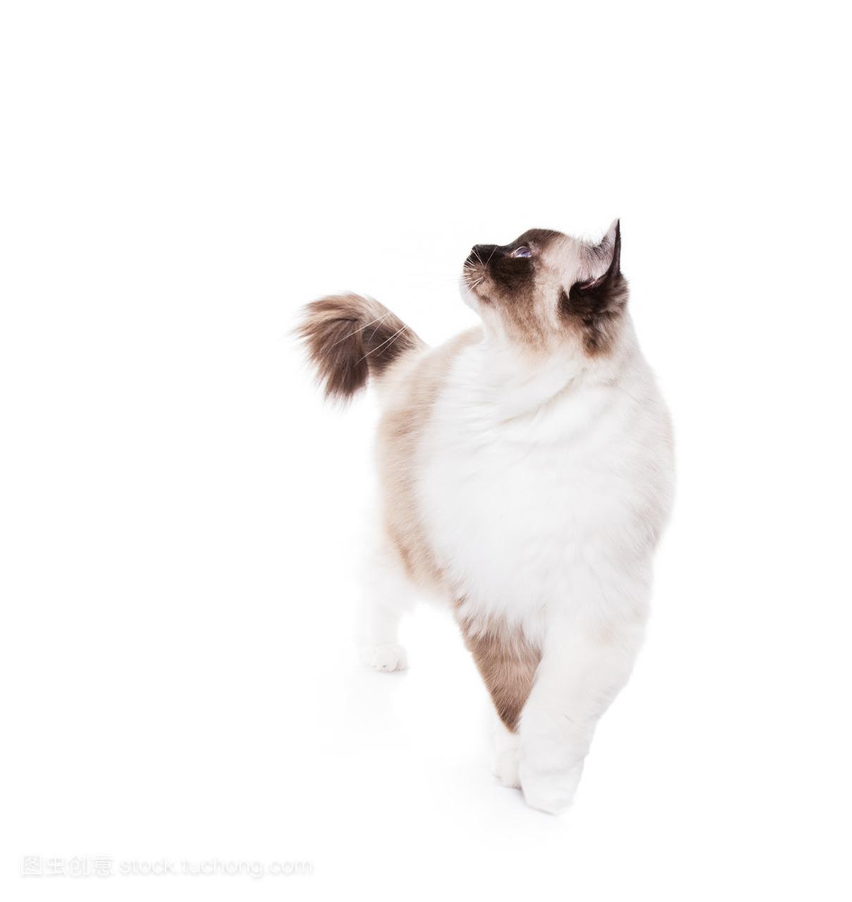 用一个狮子布偶刮胡子只图纸猫主要发型看图片