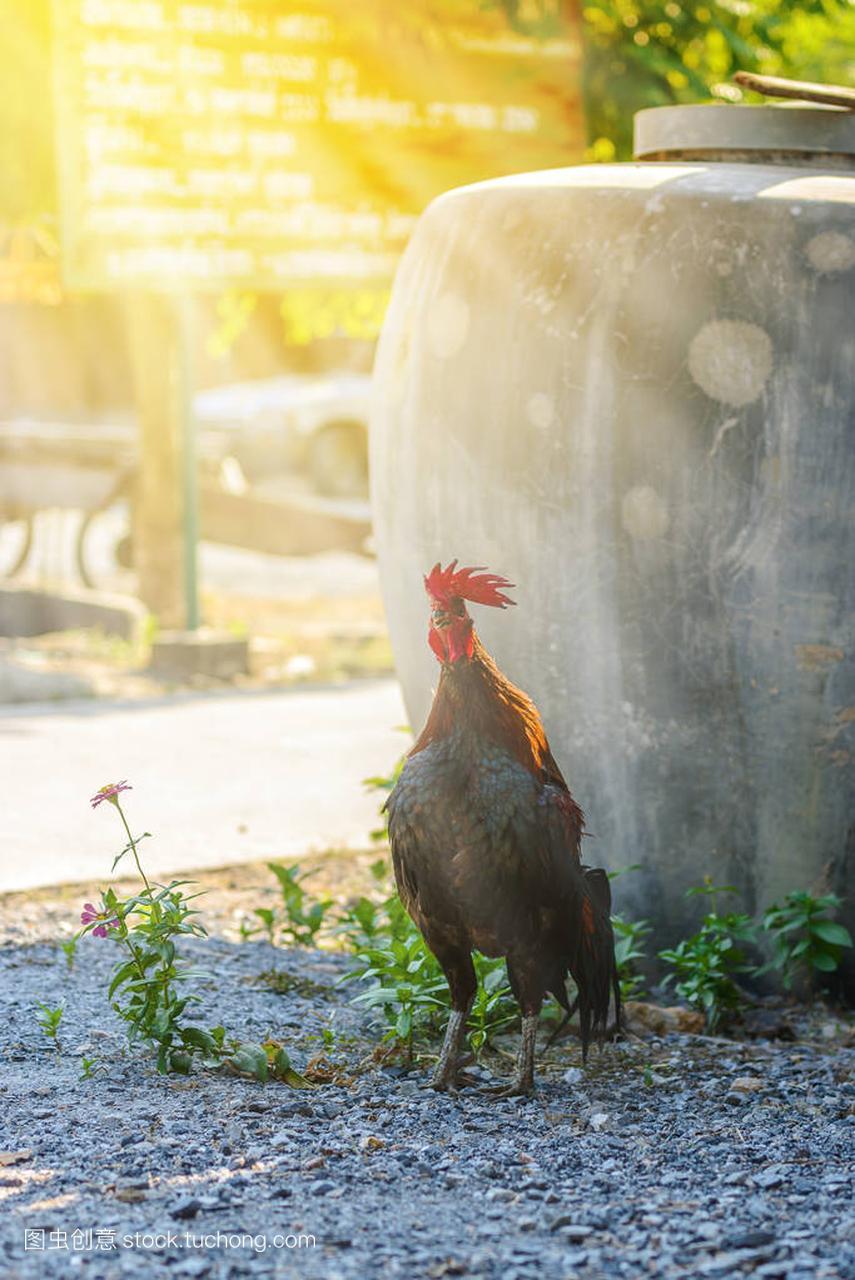 多彩的公鸡或拿大场中加斗鸡冰球鞋图片
