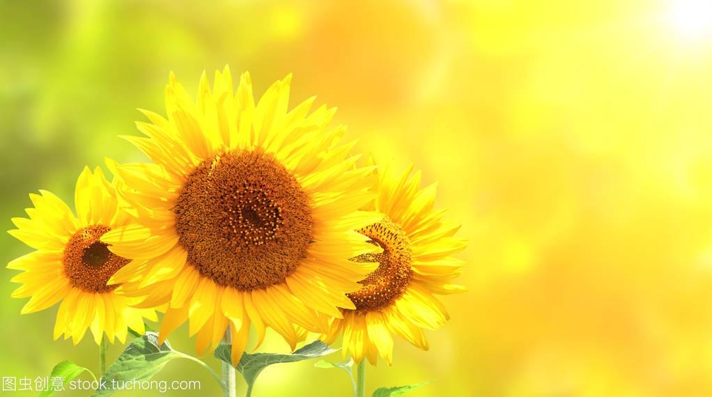 清晨阳光向日葵图片_阳光向日葵图片