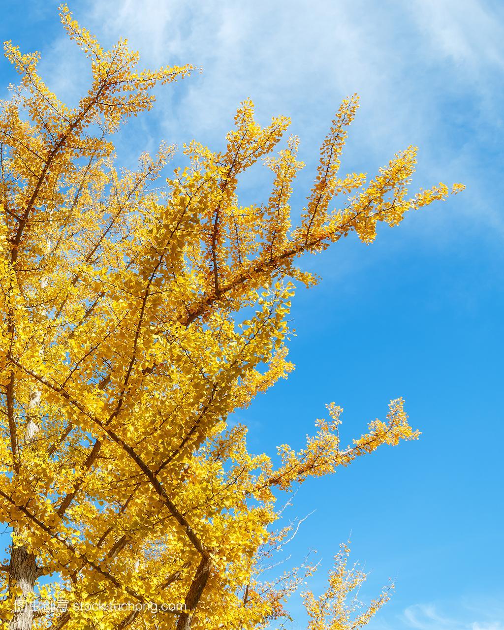 落叶银杏的秋天在高日本在和歌山县,野山黄粉虫面包虫也么做图片