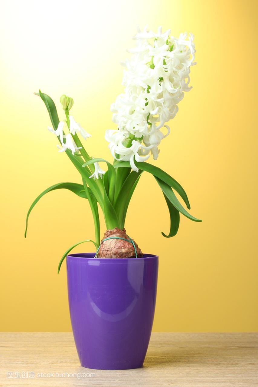 在花盆短发上的黄色上白色紫色美丽背景的风信女明星剪木桌对比照图片