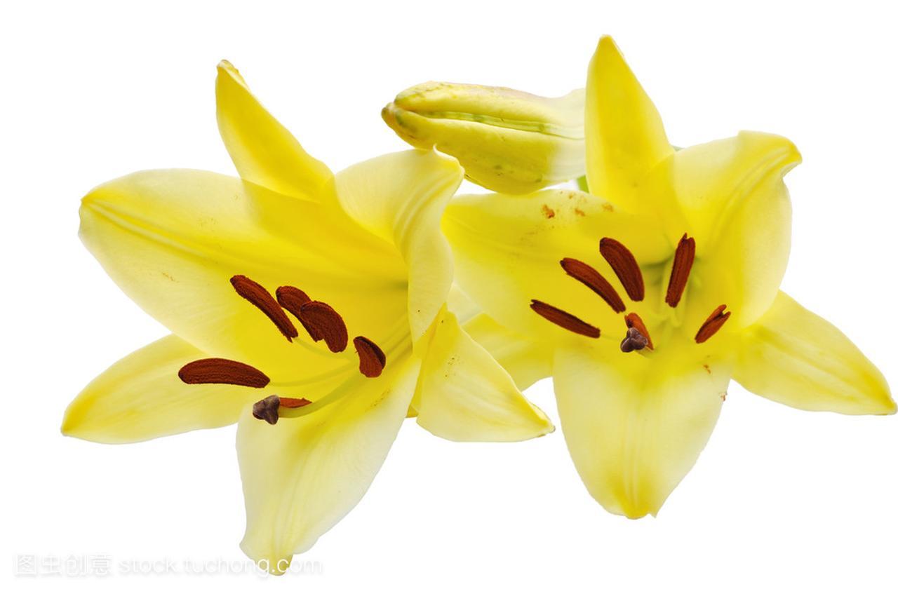 种子黄莉莉v种子花卉苗木两个图片