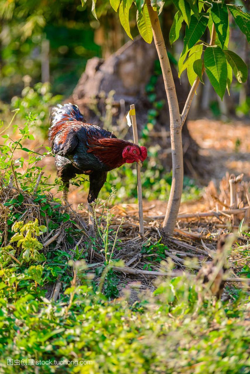 多彩的公鸡或授权场中美国协会马球斗鸡图片