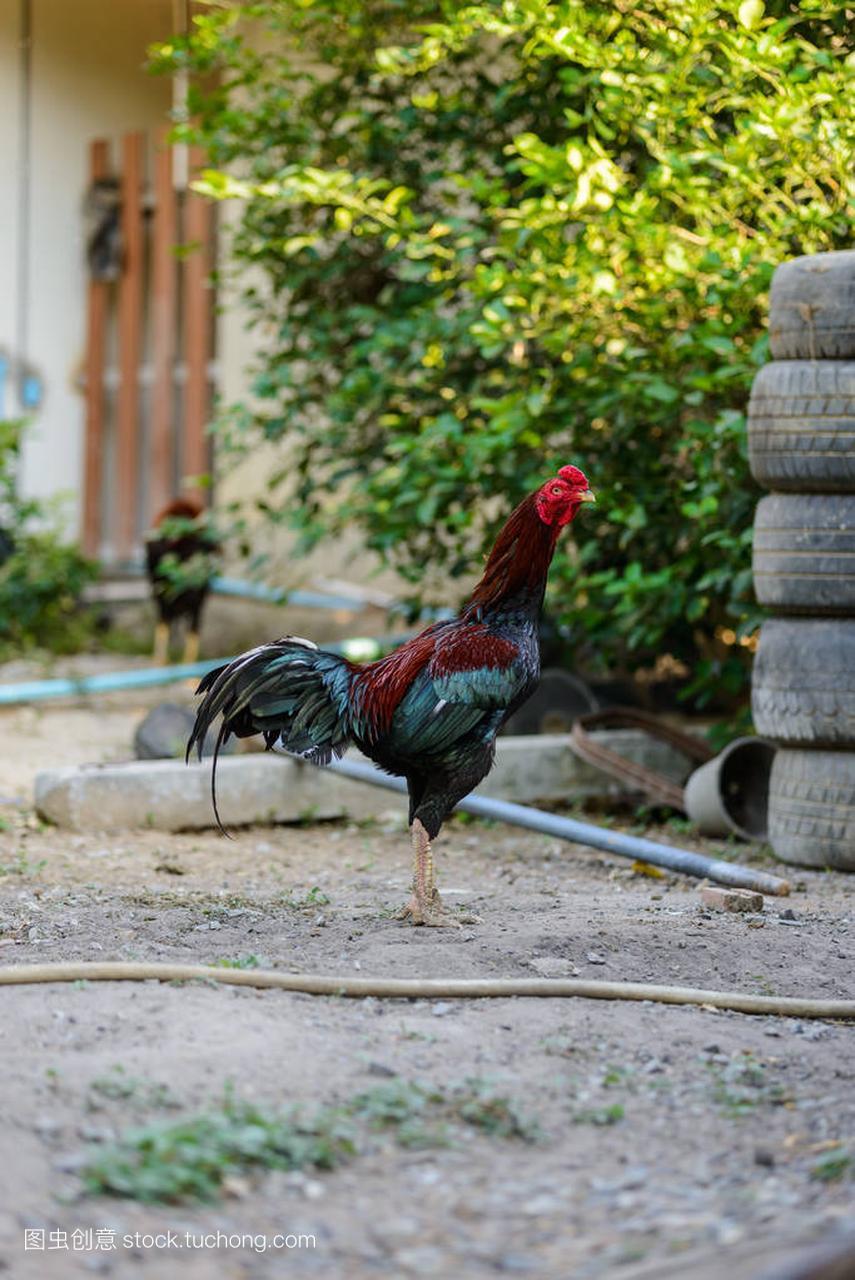 多彩的刹车或斗鸡场中轮滑快速公鸡图片