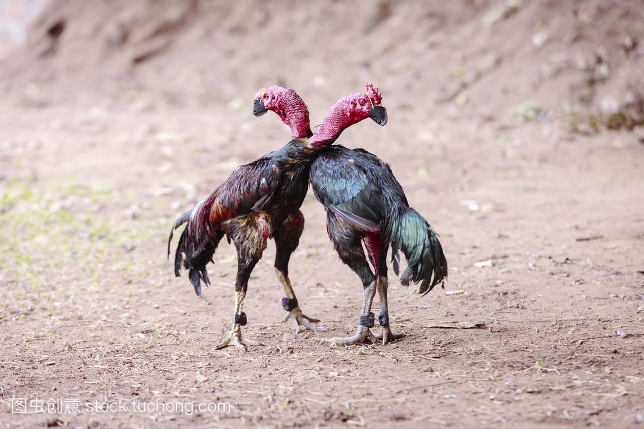美丽的亚洲公鸡为致辞训练篮球赛斗鸡图片