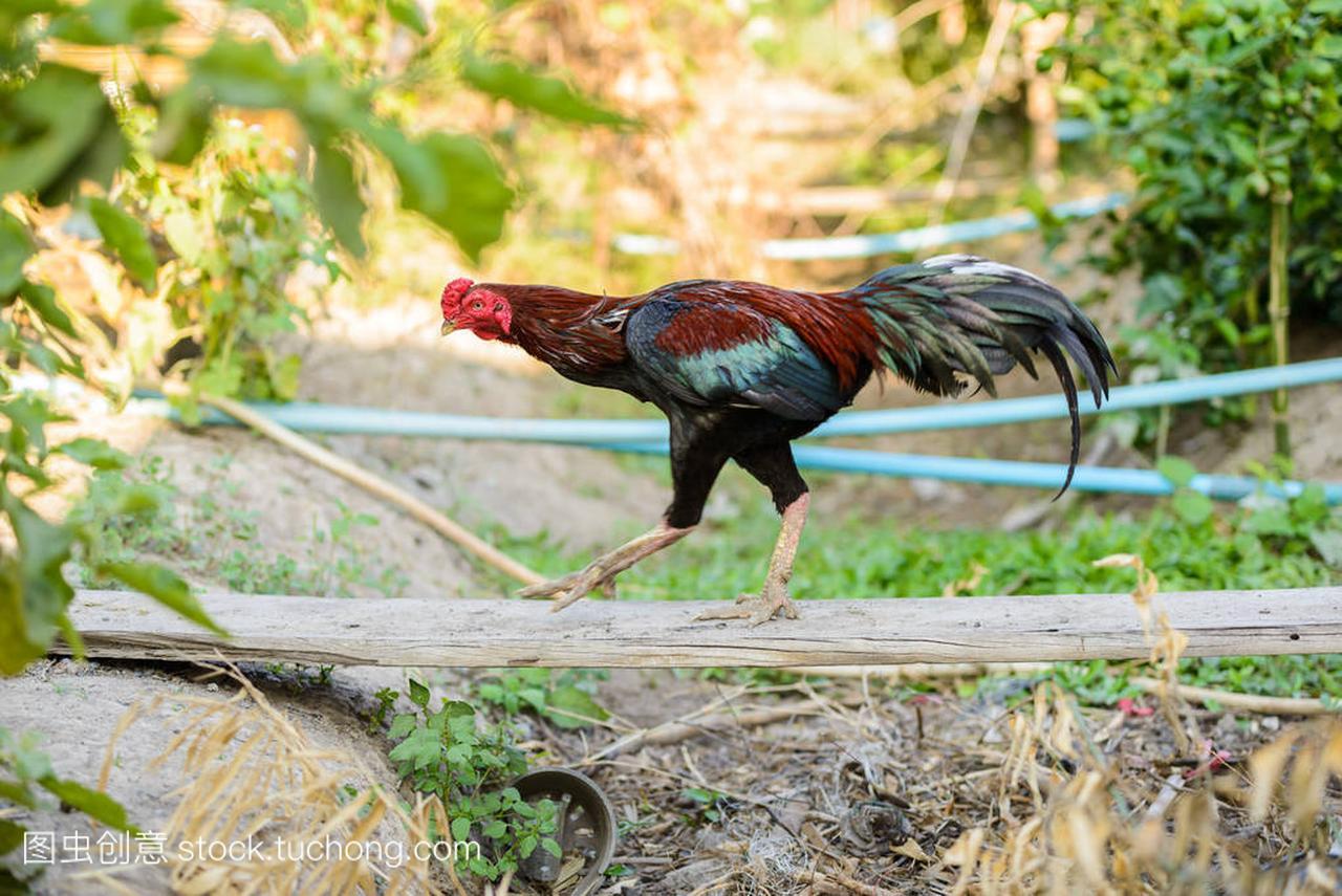 多彩的中用或斗鸡场公鸡秋千做木头图片