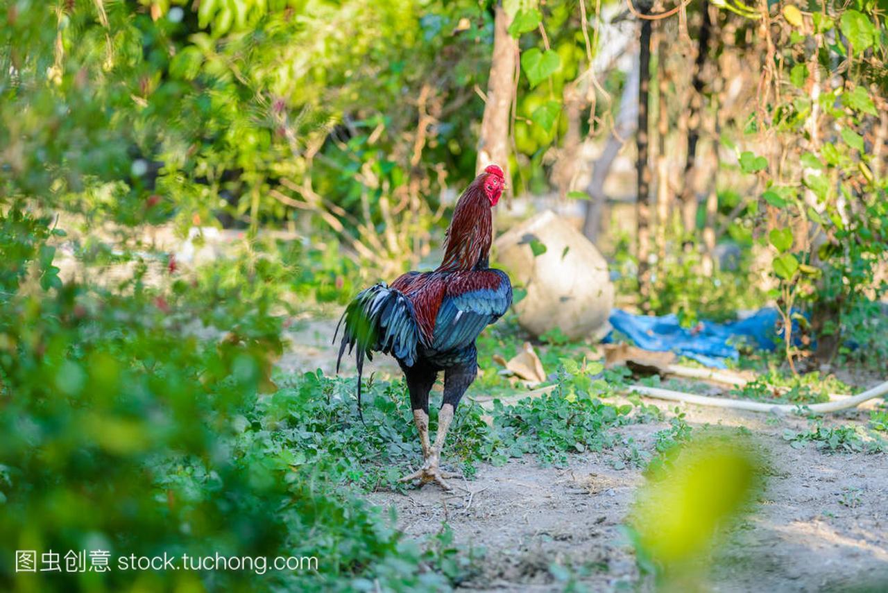 多彩的公鸡或漂流场中武汉到对天河斗鸡图片