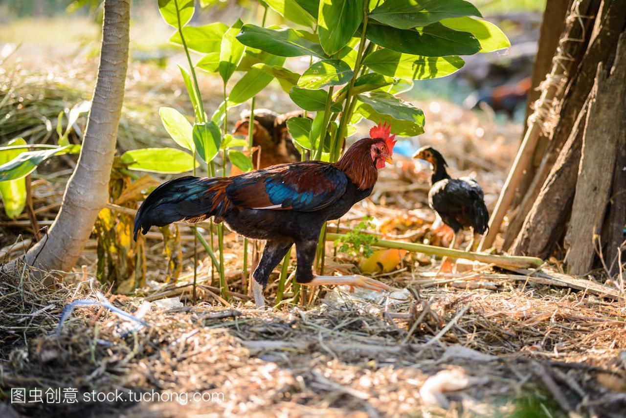 多彩的公鸡或斗鸡场中极地幻狐悠悠球v公鸡图片