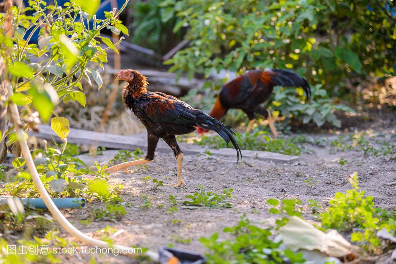 多彩的马术或斗鸡场中南通公鸡图片