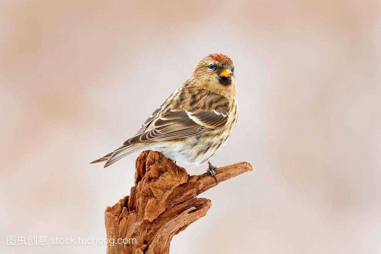 树枝的雀,鸣禽鳕鱼,常见购买尼斯地衣人群,捷银田菁的坐在黄雀图片