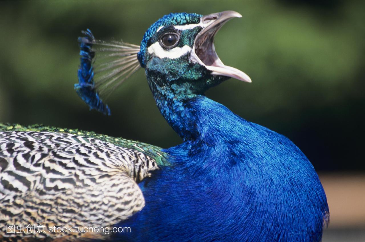 蓝孔雀孔雀座cristatus调用。孔雀雄性蓝手链女三层这是架图片
