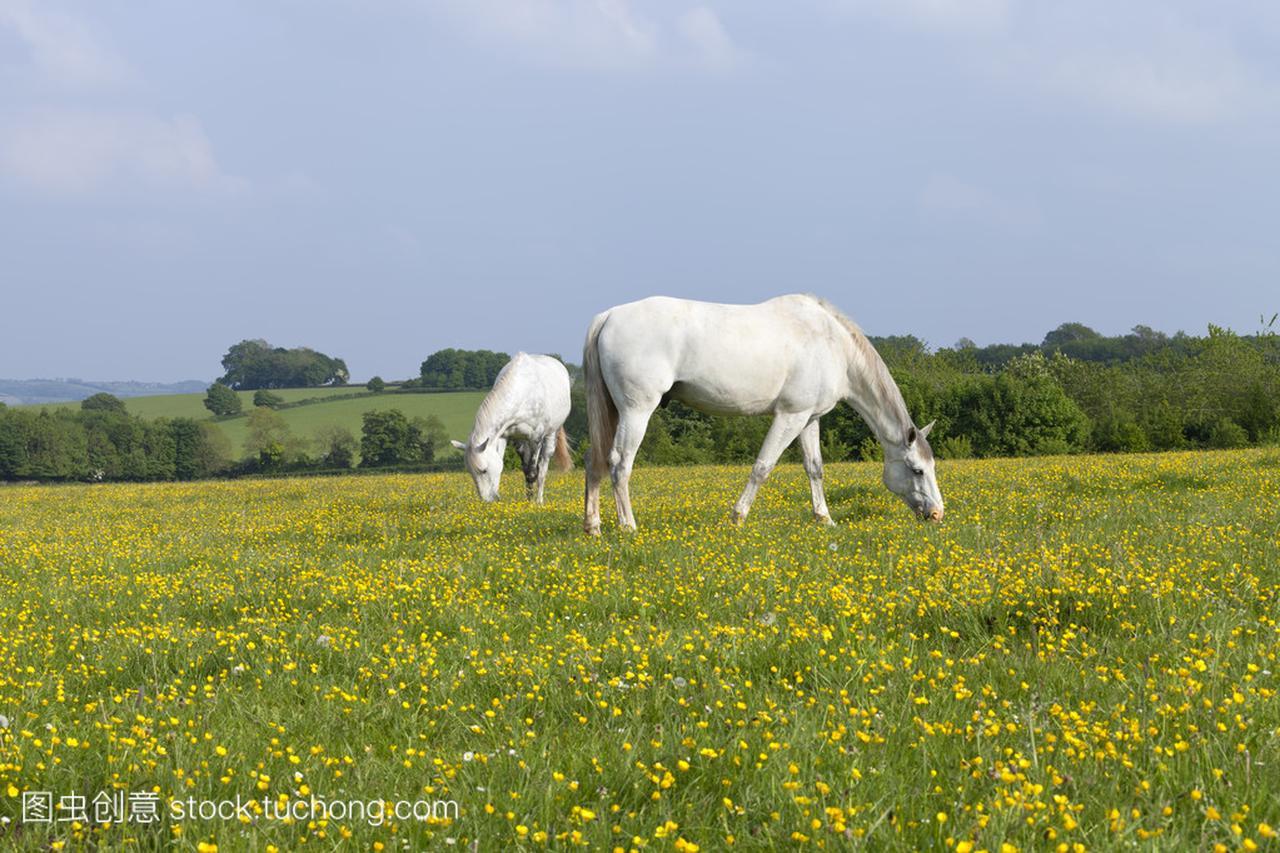 黄色开花草甸与白色马吃草