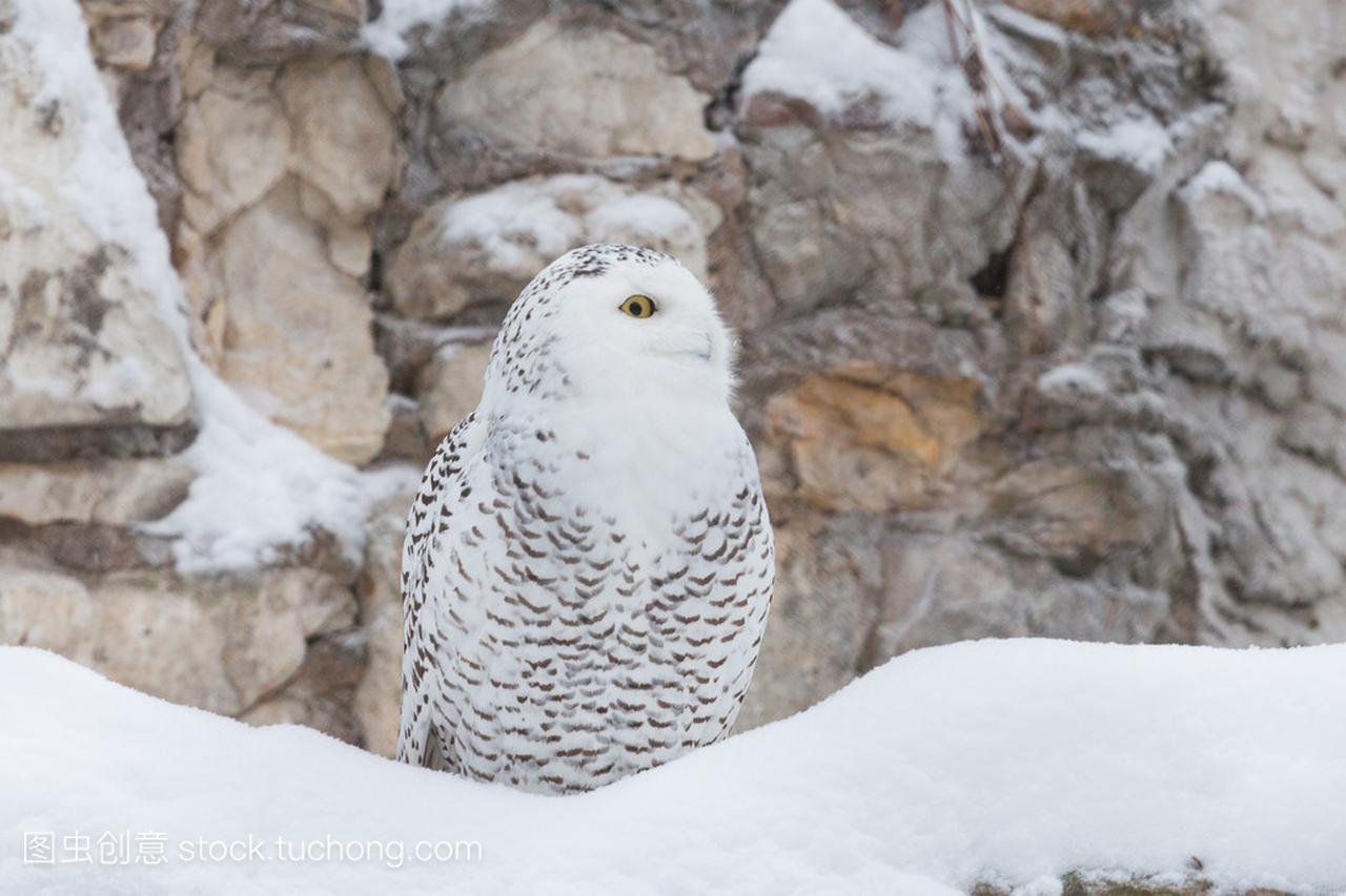 白色的猫头鹰或雪白的猫头鹰