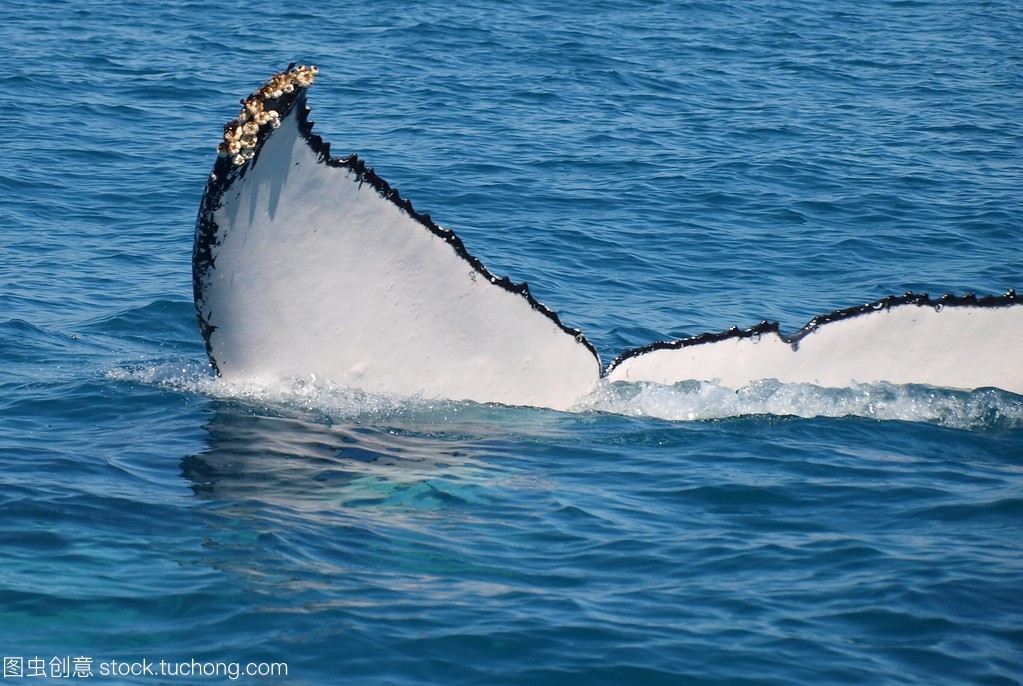Tail of a Humpback Whale with Barnacles. .