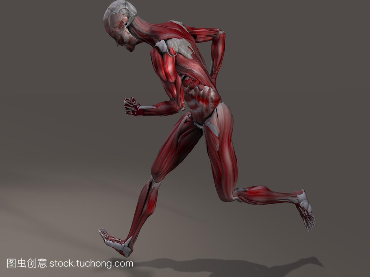 男性肌组织在行动