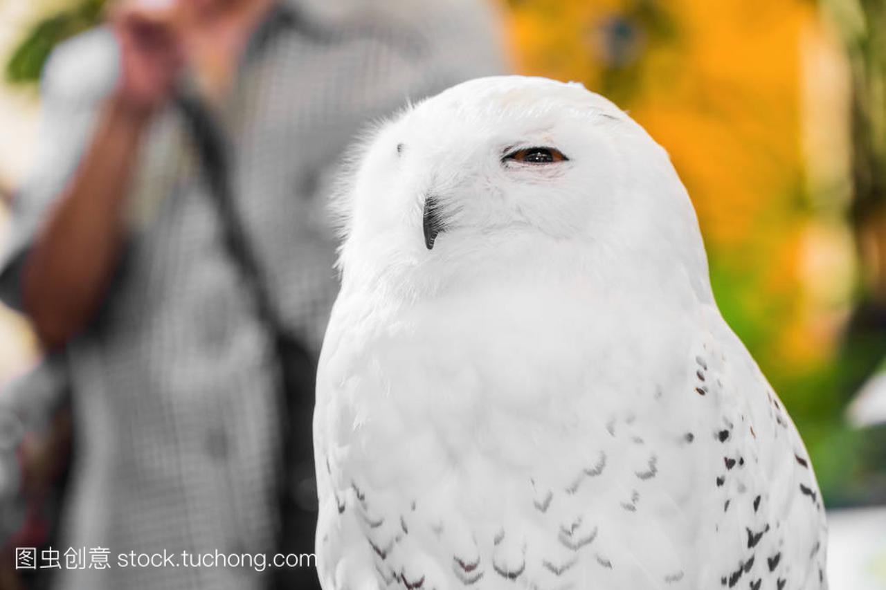 白色的雪鸮用黄色的眼睛的特写肖像