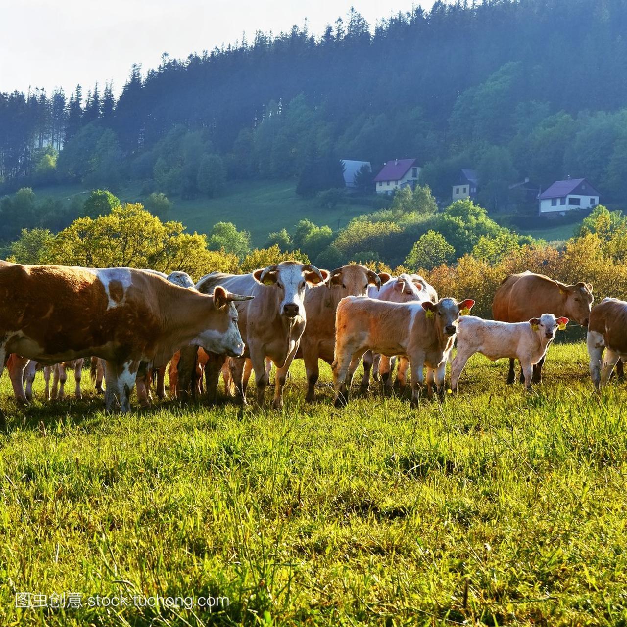 牛在字段中。犊牛在山上放牧在夏天的美丽景观