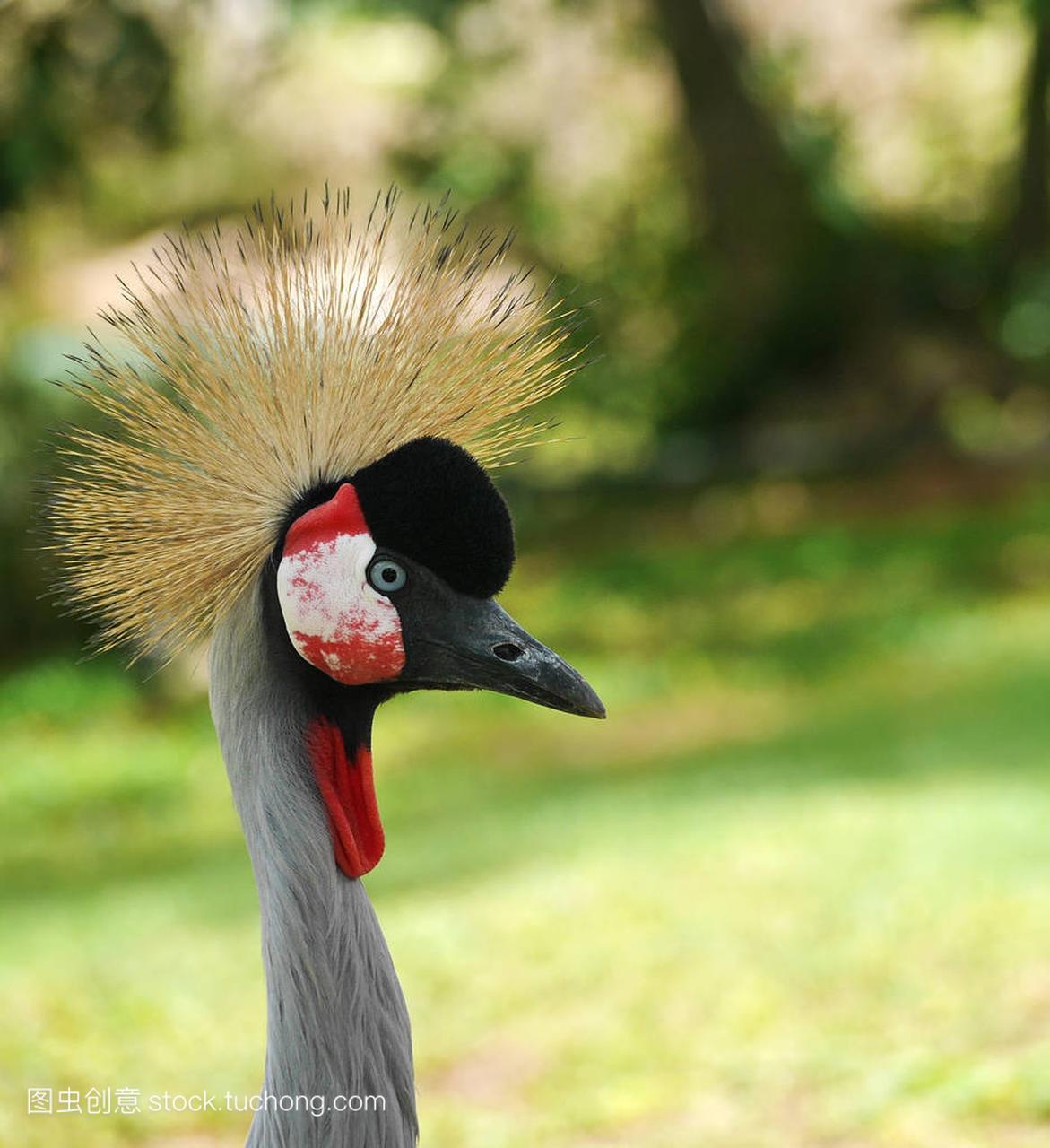 在绿色背景上灰冠鹤 (国鸟 regulorum)