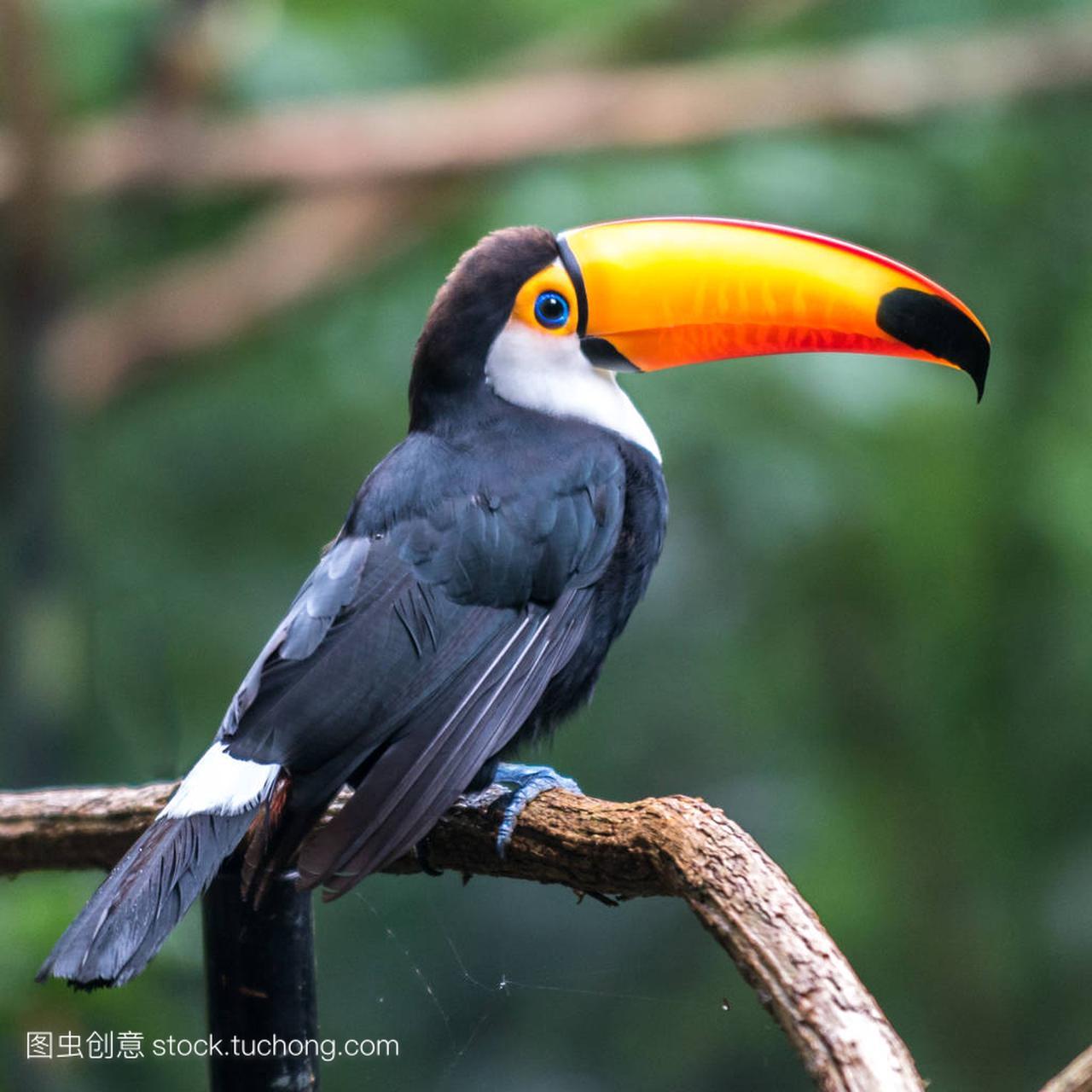 巨嘴鸟 (国鸟 toco) 坐在树上