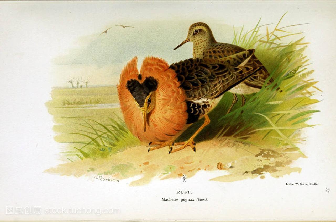 鸟的例证。不列颠群岛鸟类的彩色图