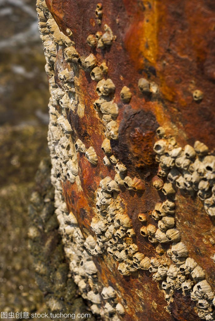 Barnacles on surface corrosion steel pole at the