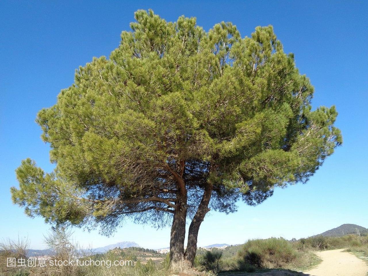 pinea松属。