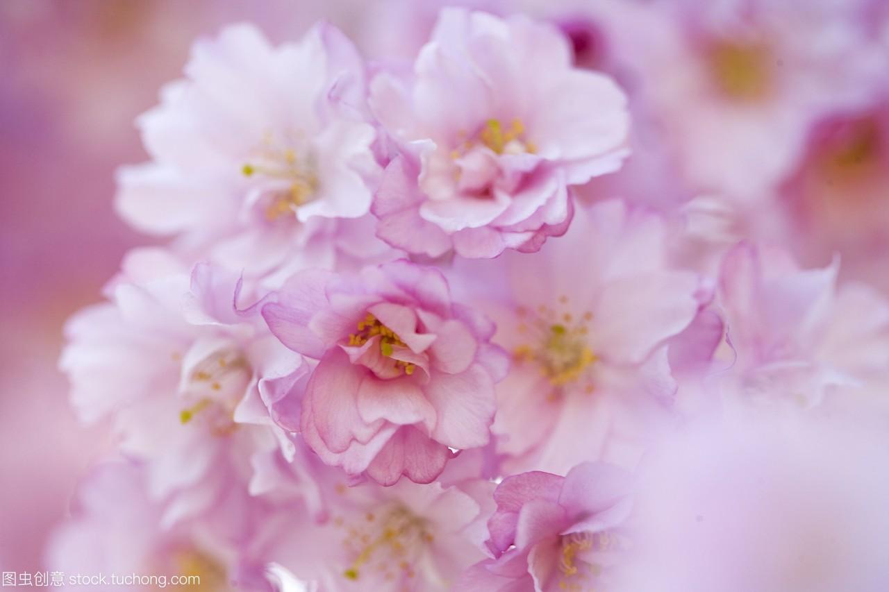 樱花Shikishima公园日本群马县。