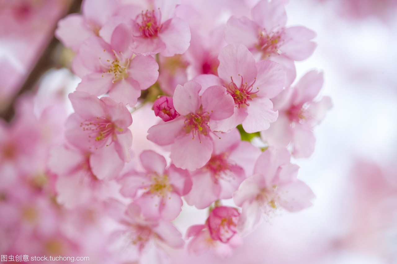 樱花日本群马县。