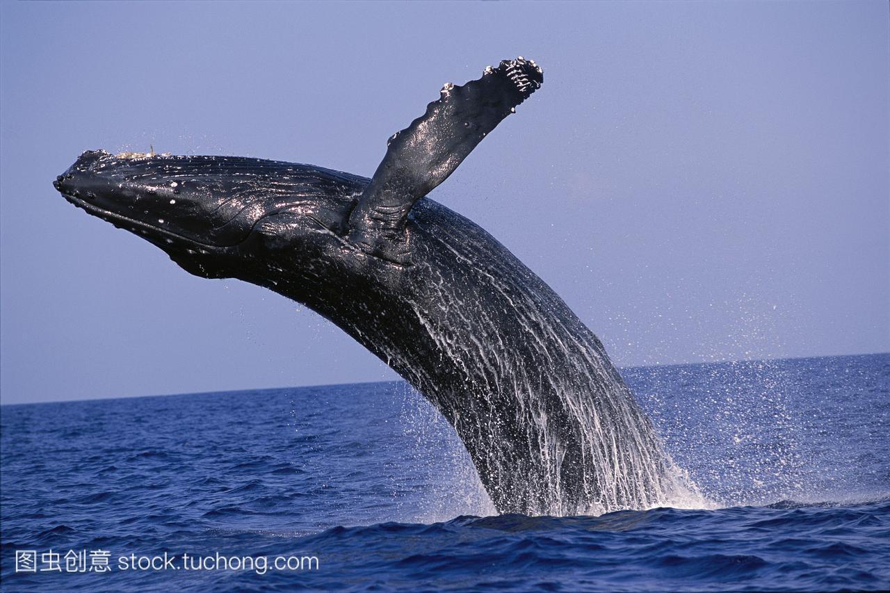 侧面的座头鲸megapteranovaeangliae,太平洋d1951