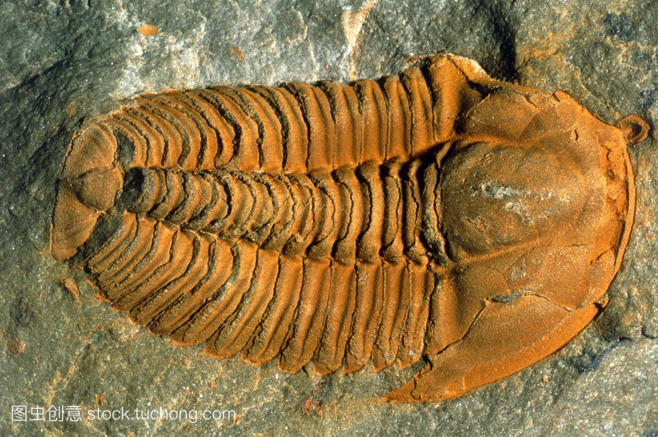三叶虫的化石。三叶虫生活在较低的寒武纪到二