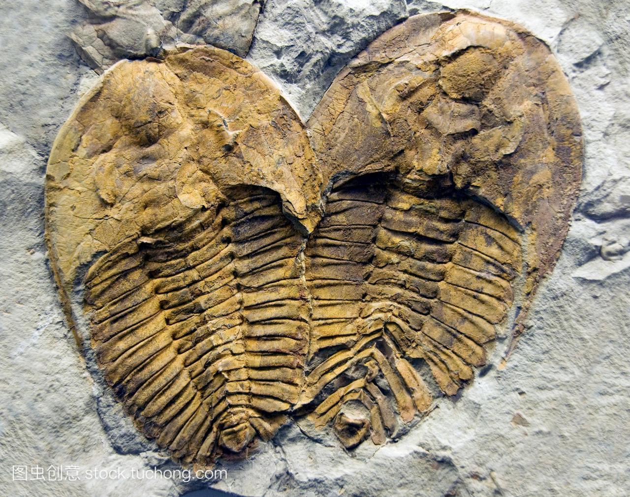 三叶虫化石。从寒武纪时期约542-490万年前中