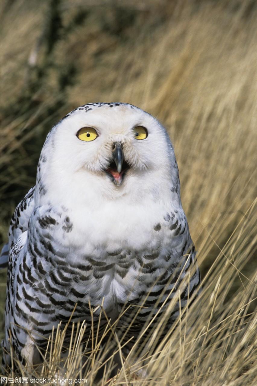 雪鸮Nycteascandiaca。与许多其他猫头鹰雪鸮