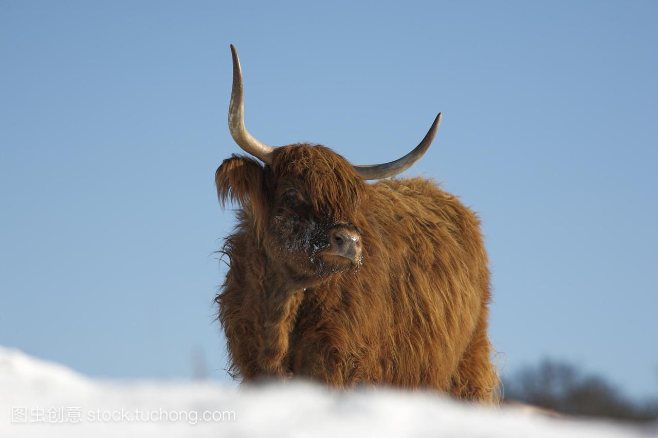 高地牛在雪中保护knottarnside放牧坎布里亚郡
