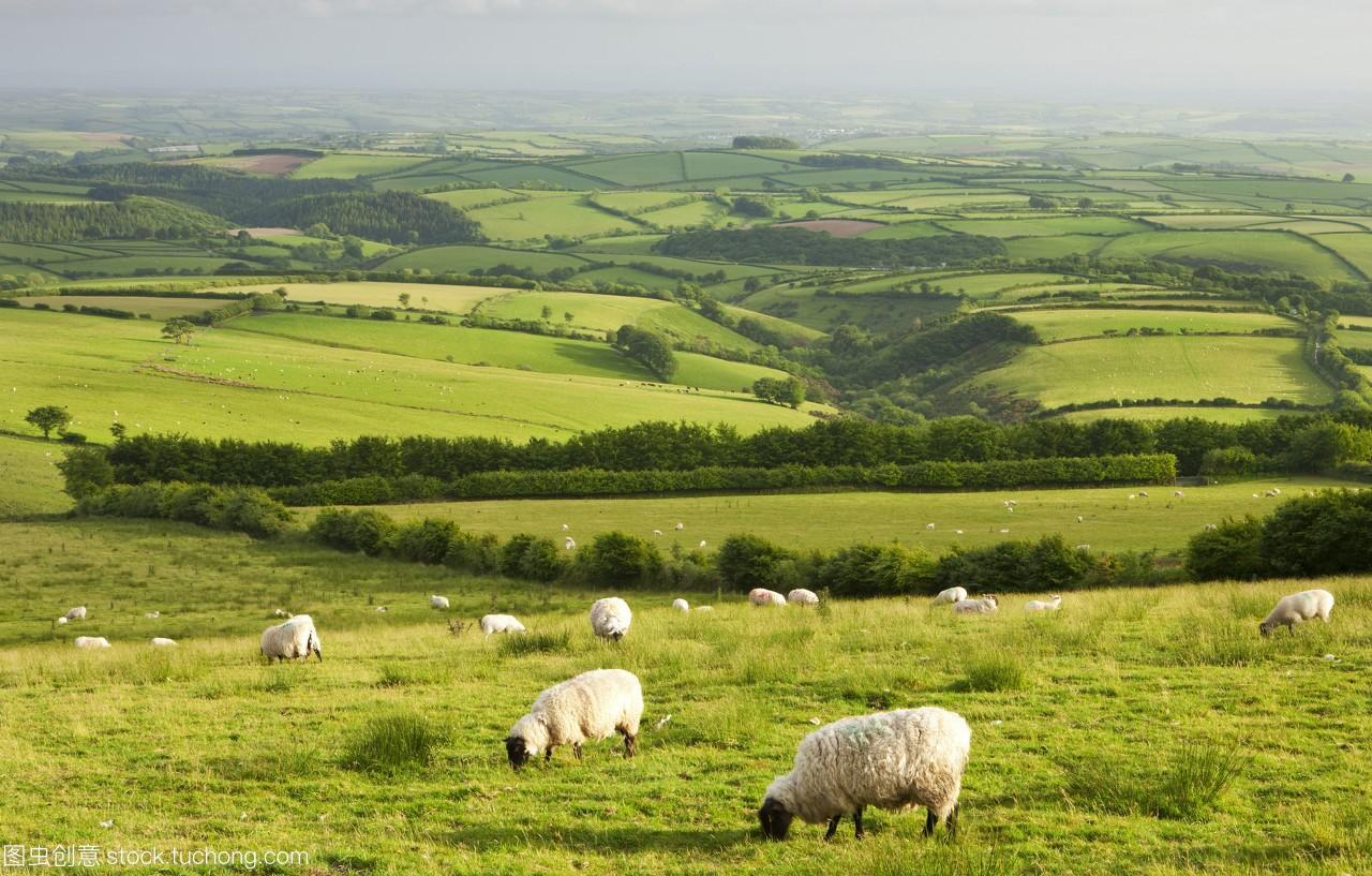 羊放牧在埃克斯穆尔国家公园英格兰德文郡英国