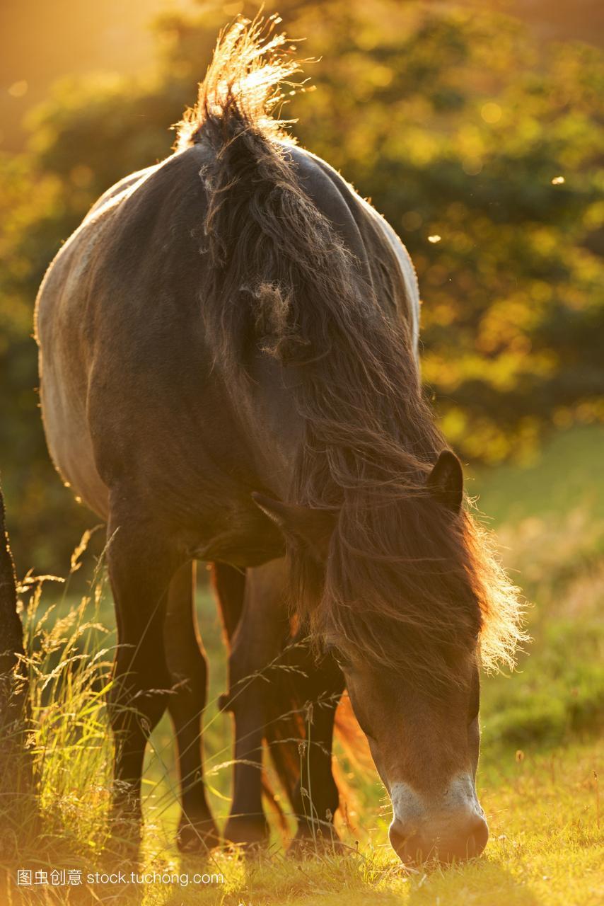 埃克斯穆尔小马放牧夏天傍晚的阳光在山谷的岩