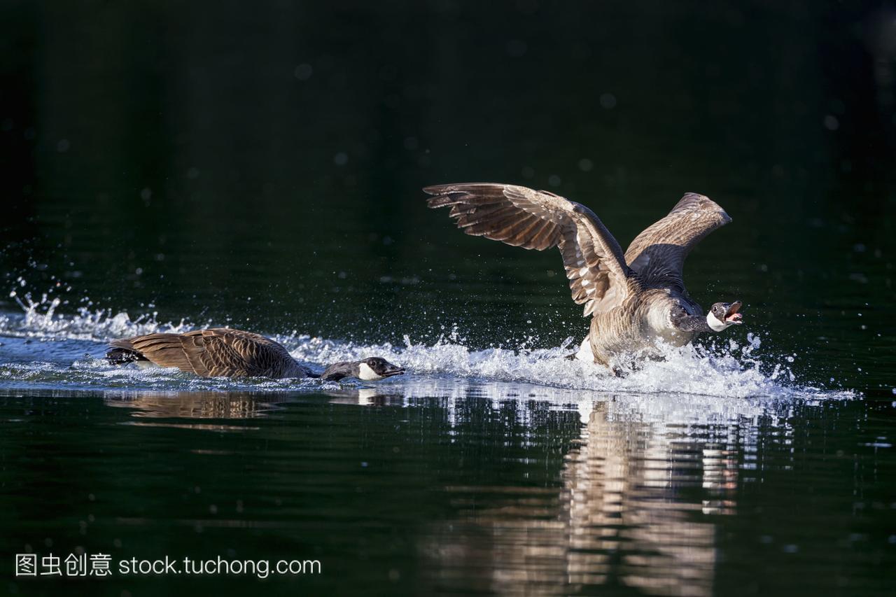 欧洲德国巴伐利亚加拿大鹅在水中游泳