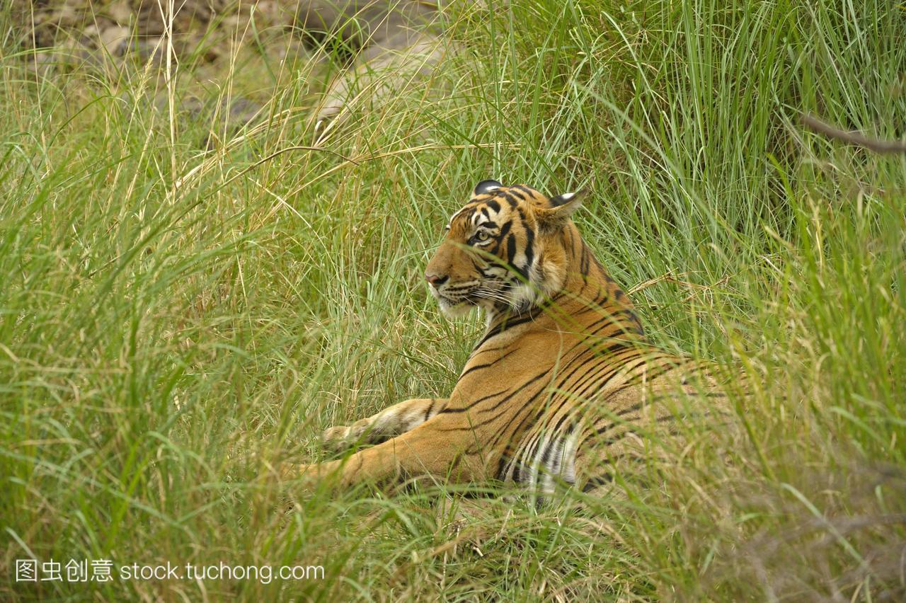 加拉虎pantheratigristigris,ranthambhore国家公